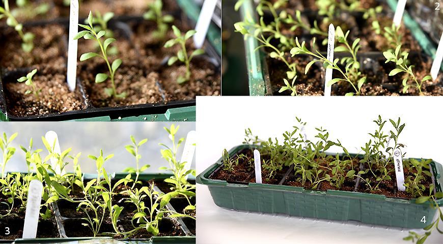Лаванда английская: полный путь от семечка до цветения за 2 года