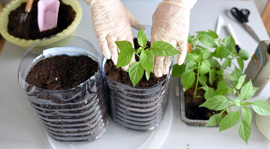 Грунт для перцев: свой и покупной грунт для посева и пикировки перцев