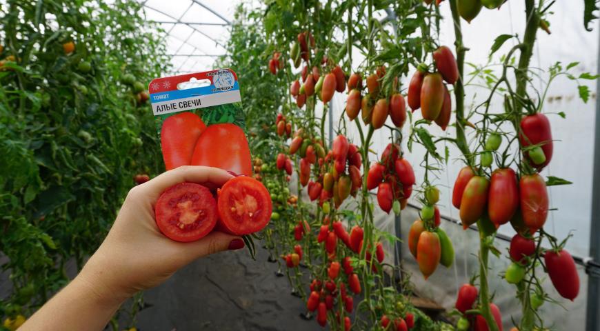сибирские томаты, Алые свечи