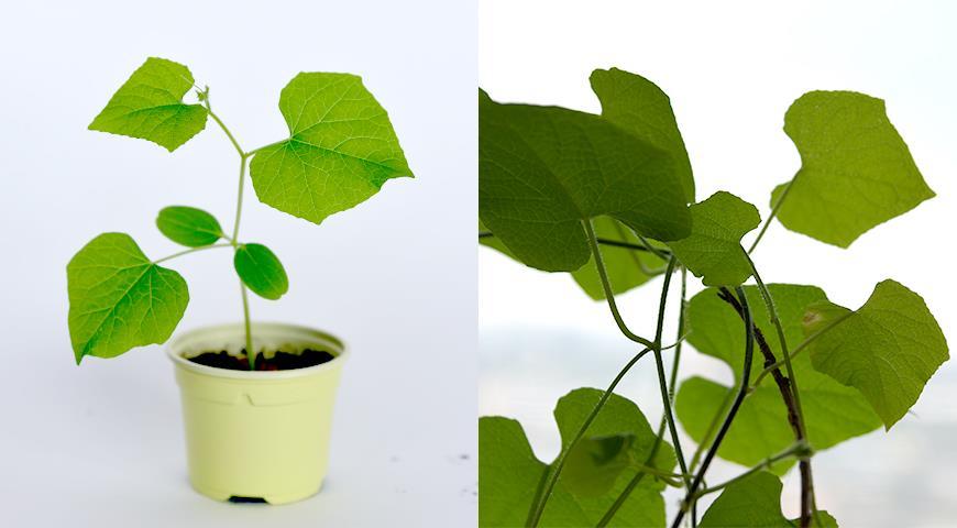 Кивано – рогатая дыня: выращивание от посева на рассаду семян до сбора урожая