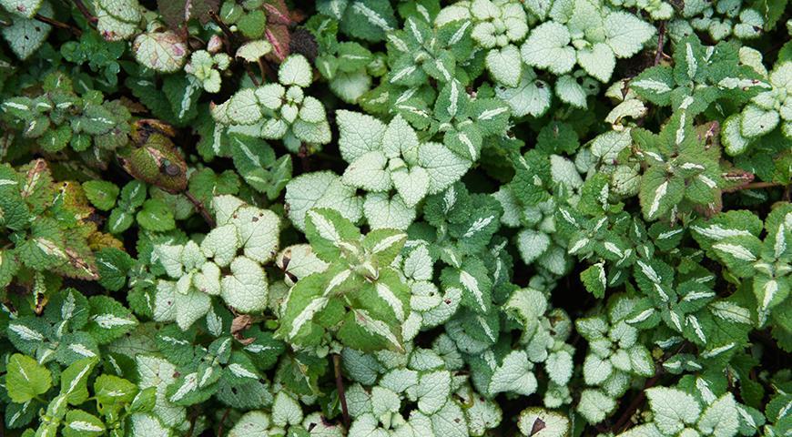 10 почвопокровных теневых растений, которые можно посадить под деревьями и кустарниками вместо газона