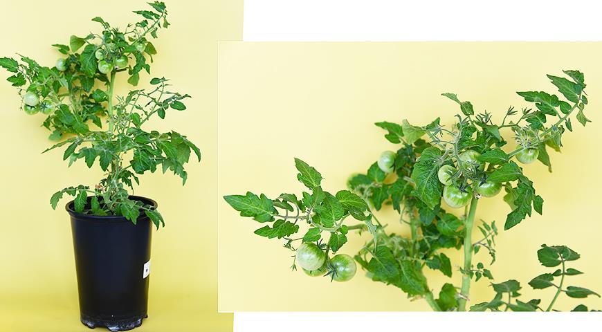 Можно ли сажать помидоры и огурцы, и что можно сажать до и после помидоров