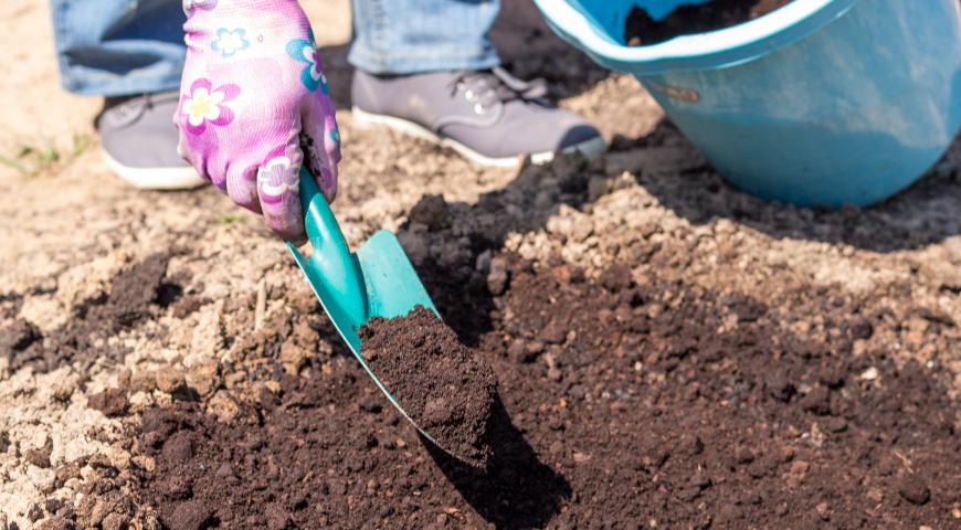 Как купить, сохранить и посадить корнеклубни ранункулюсов