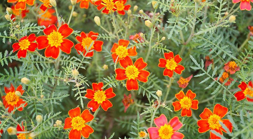 8 видов бархатцев для посадки в цветник: популярные и редкие, красивые и вкусные