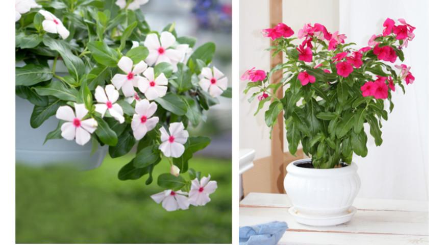 Катарантус: секреты выращивания розового барвинка через рассаду
