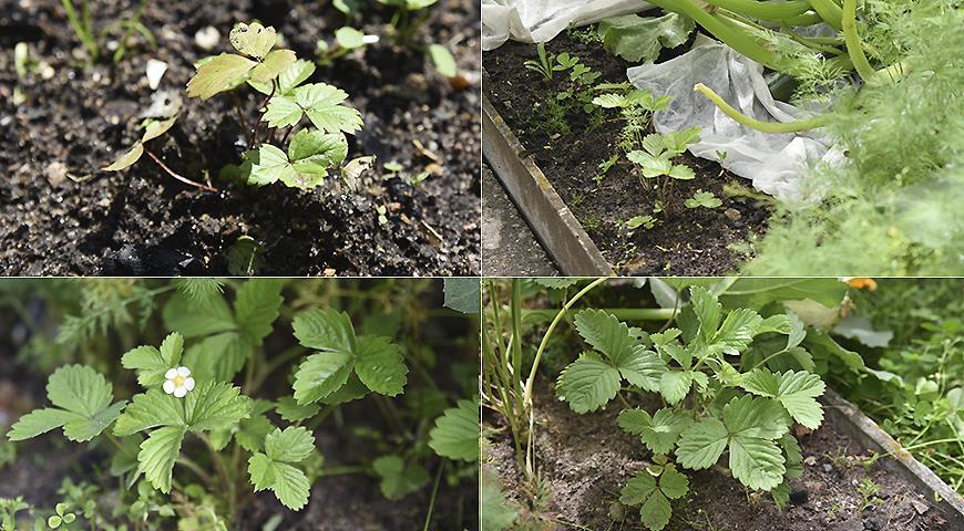 Полный мастер-класс по выращиванию земляники: от семечка до ягод за 1 сезон
