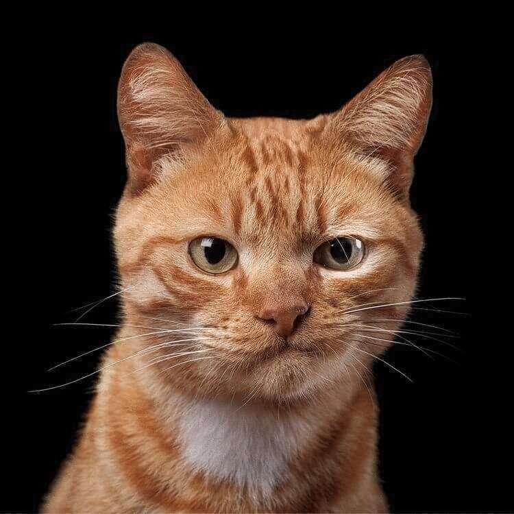43420 Фотограф снимает примечательные портреты котов, подчеркивающие их личность
