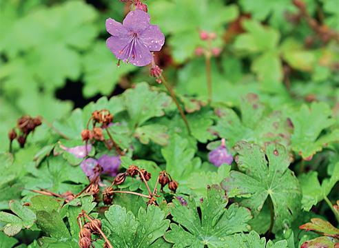 Виды и сорта садовой герани: что посадить у себя на даче?