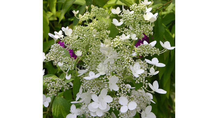 Сорта гортензии метельчатой, самые красивые и устойчивые для посадки в саду