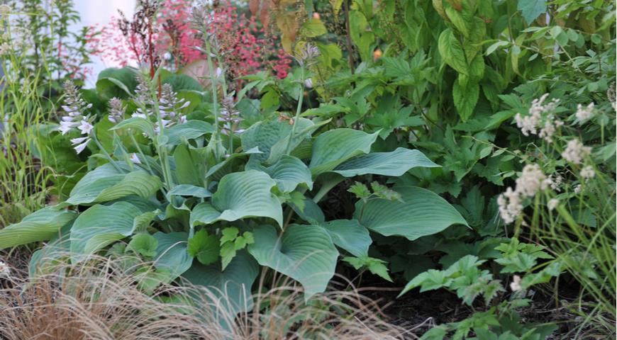44287 Какие красивые хосты можно посадить на солнце: лучшие устойчивые сорта