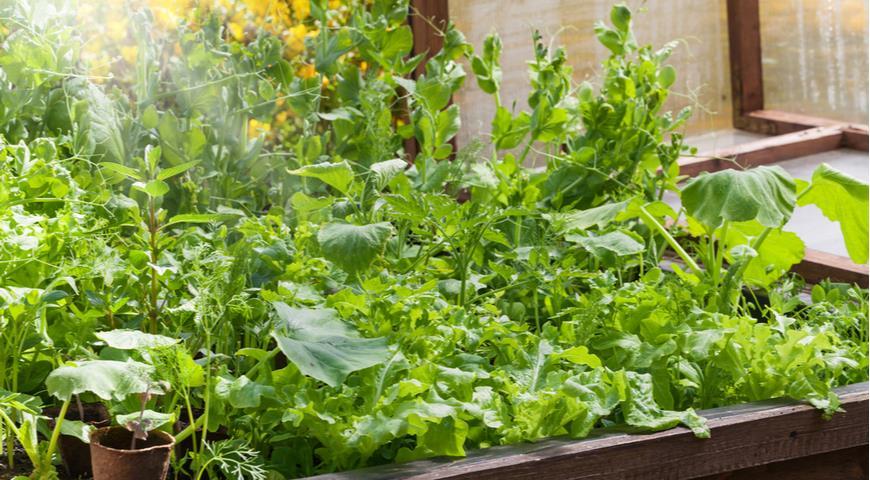 43893 С какими растениями можно, а с какими нельзя сажать огурцы