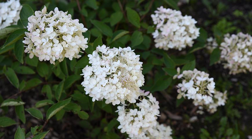 44182 Сорта гортензии метельчатой, самые красивые и устойчивые для посадки в саду