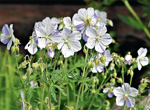 44328 Виды и сорта садовой герани: что посадить у себя на даче?