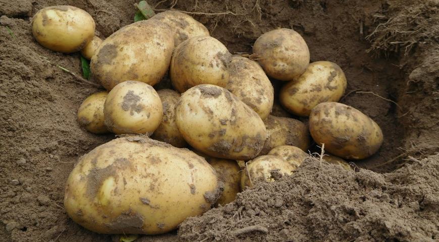 Нужно ли проращивать картофель перед посадкой и другие важные вопросы про картошку