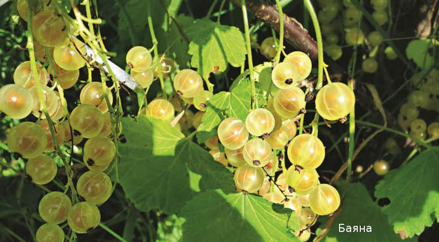 Лучшие сорта красной смородины для посадки на дачу: личный опыт Ларисы Масловой
