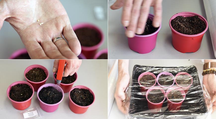 44462 Пора сажать вкусные мини-арбузики - мелотрию на рассаду
