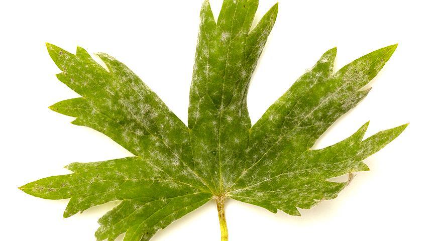 Что делать, если на листьях появился серый налет, или как побороть мучнистую росу