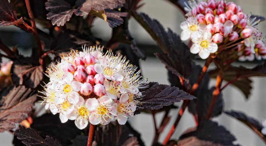 пузыреплодник, пузыреплодник калинолистный пузыреплодник с красными листьями, кустарник, кустарник с яркой листвой, декоративный кустарник, кустарники с разноцветными листьями