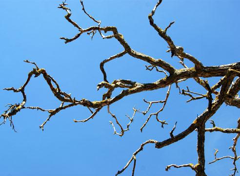 Сохнет яблоня: как помочь больной яблоне, как и когда вырезать сухие ветки