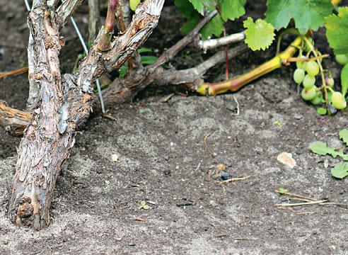 Формировка винограда кордоном по Беликовой