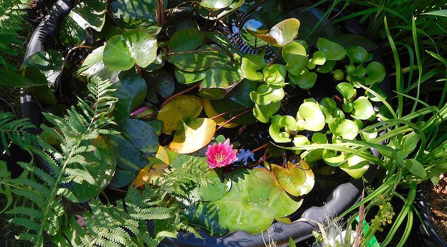 45472 10 вопросов о выращивании водяной лилии, или нимфеи