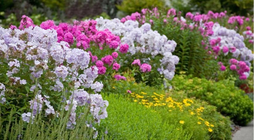 Флоксы с почвопокровными растениями в цветнике