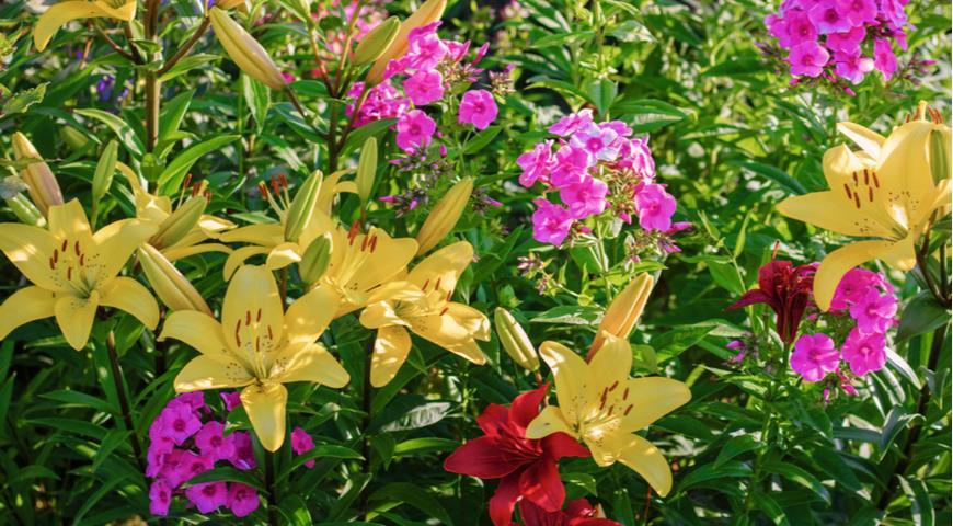 флокс, азиатская лилия