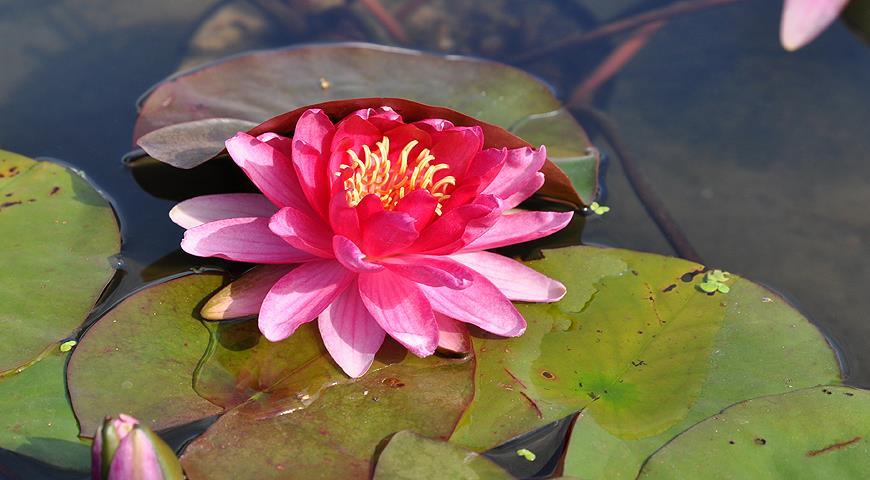 10 вопросов о выращивании водяной лилии, или нимфеи