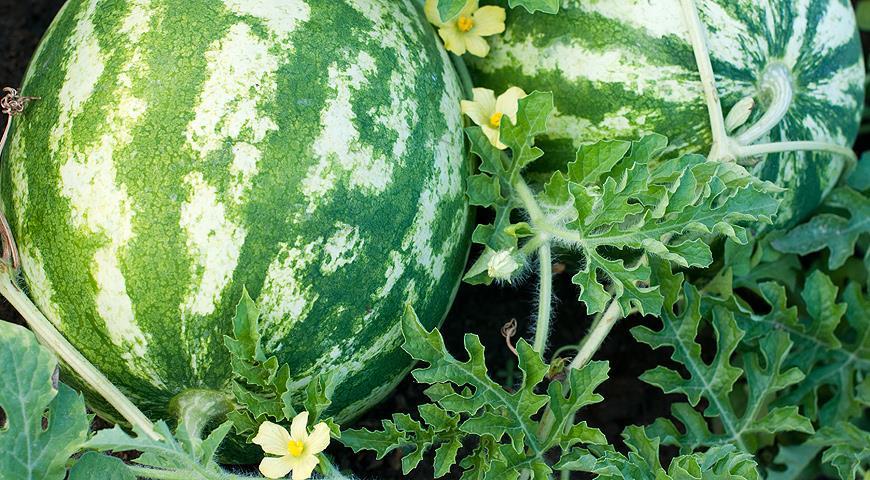 Как сохранить урожай томатов, перцев, баклажанов, огурцов и дынь до самого Нового года