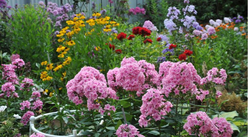 Флокс Romantika, цветник