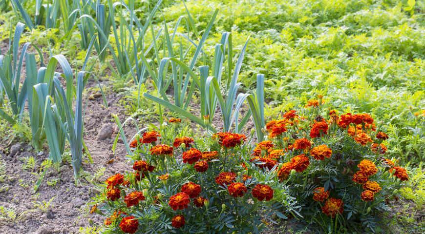 Как правильно выбрать сидераты для посева на грядки: бобовые, крестоцветные и злаковые