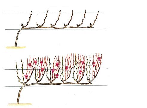 45876 Обрезка винограда: кордонная формировка сильнорослых сортов