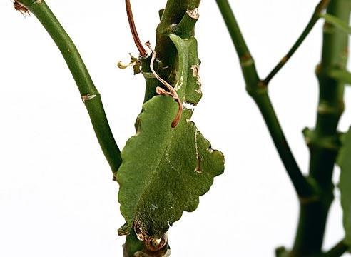 каланхоэ, проблемы выращивания каланхоэ, почему не цветет каланхоэ, Усыхание листьев каланхоэ