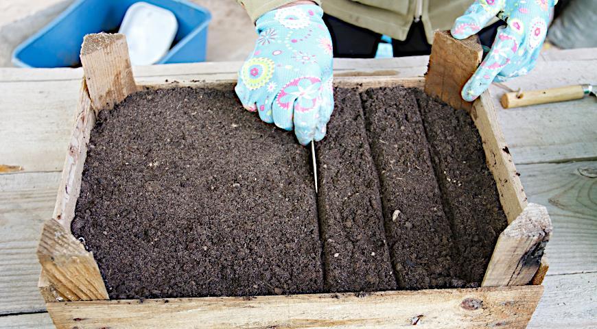 посев семян туи, подготовка почвы