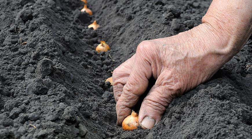 Когда сажать лук и чеснок осенью по Лунному календарю 2021 года