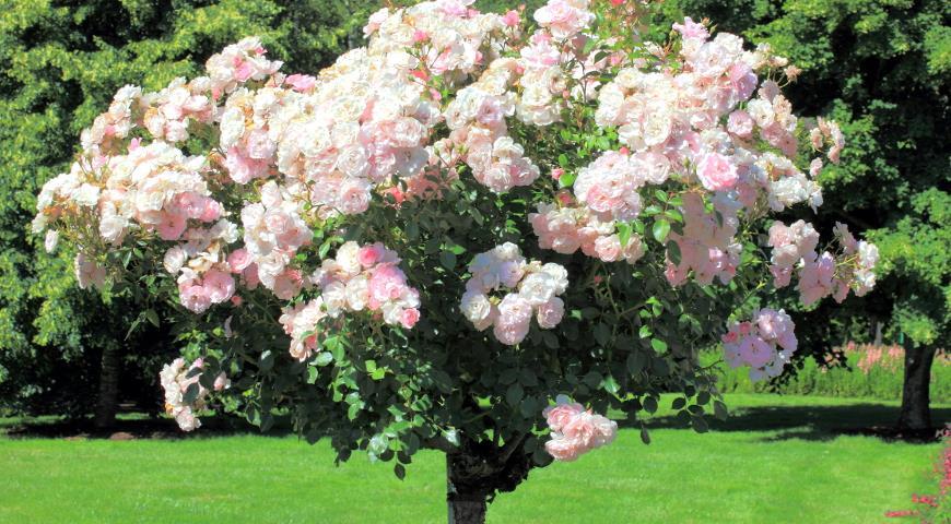 Фото штамбовой розы