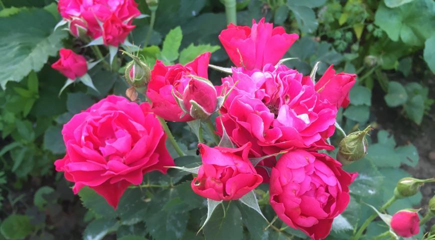 Канадская парковая роза Morden Amorette