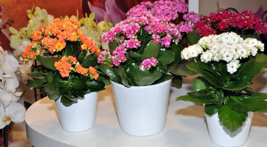 9 основных проблем, возникающих при выращивании каланхоэ в домашних условиях
