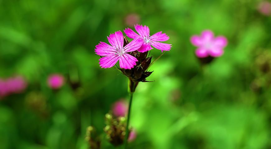 Цветочный гороскоп на 3-11 сентября: ваш цветок гвоздика!