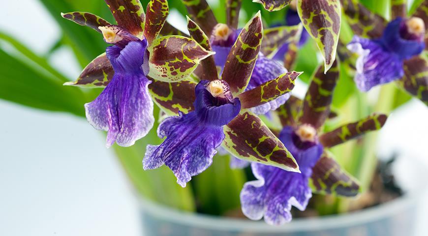 Зигопеталум — фиолетовая орхидея для комнатного цветоводства: все особенности выращивания