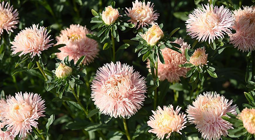 Цветочный гороскоп на 12 – 22 сентября: ваш цветок – астра!
