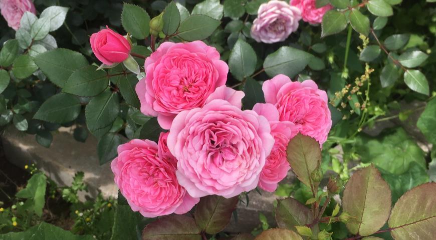 Starlet-Rose Eva (Tantau)