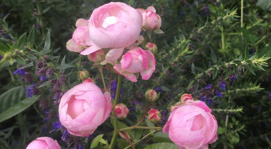 роза Pink Morsdag