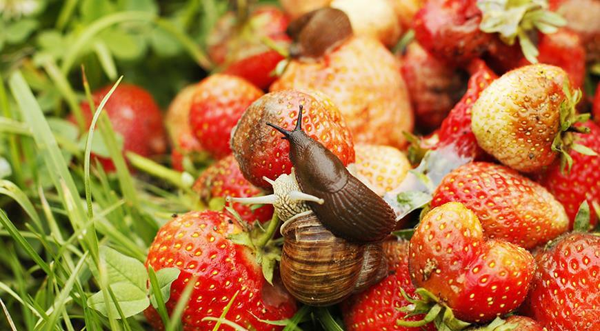 Нашествие лузитанских или испанских слизней: как спасти свой сад от мерзких красных слизней?