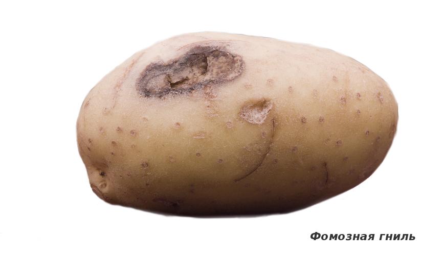 Фомозная гниль картофеля