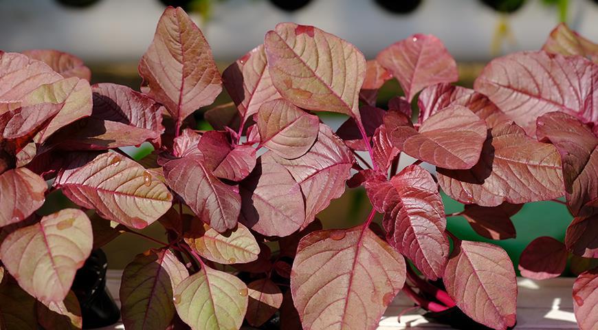 Амарант – разнообразие видов и сортов, особенности выращивания