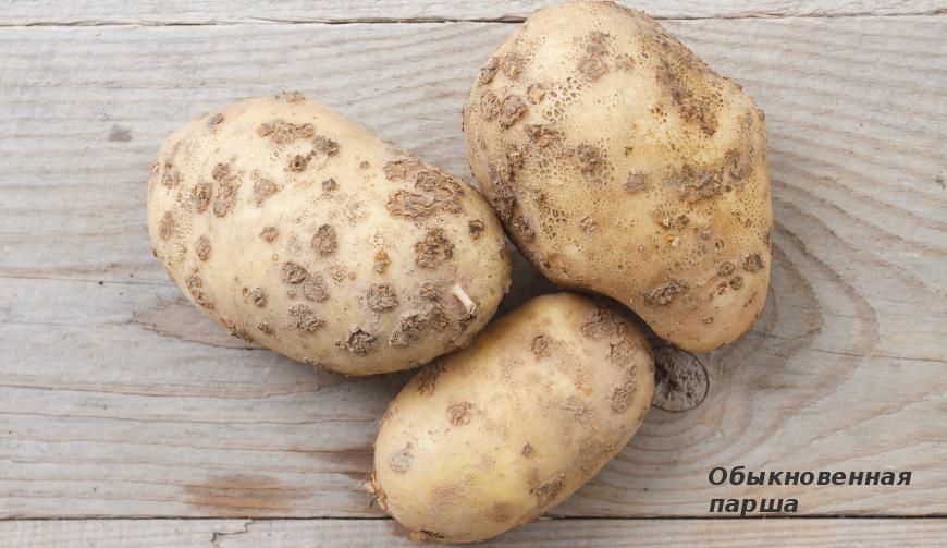 46412 Болезни картофеля: осматриваем клубни, определяем проблему и лечим, все проблемы с фото