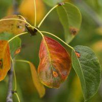 46688 Борьба с болезнями сада: план осенних обработок яблонь, груш, слив, смородины и др. плодовых культур