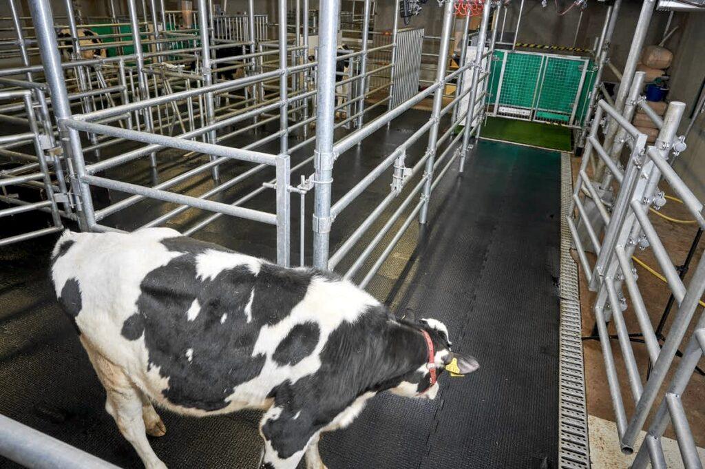 Коров приучили «к горшку» ради борьбы с глобальным потеплением