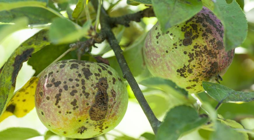 46522 Как определить и вылечить паршу на яблоне